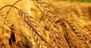 Se il chicco di grano muore (Gv 12,24) (commento di Cirillo di Alessandria)